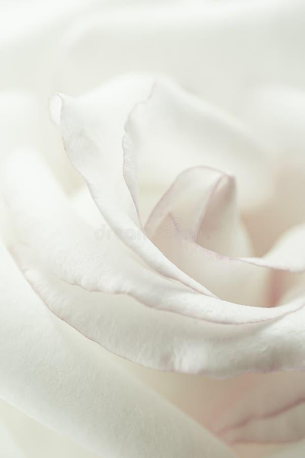 Rosa dulce del pétalo, en estilo suave del color y de la falta de definición fotos de archivo libres de regalías
