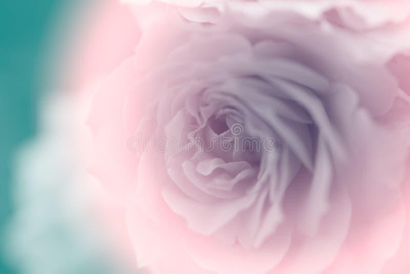 Rosa dulce del p?talo en color suave fotos de archivo libres de regalías