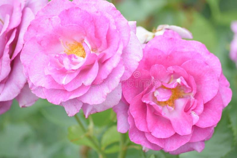 Rosa e bonito foto de stock