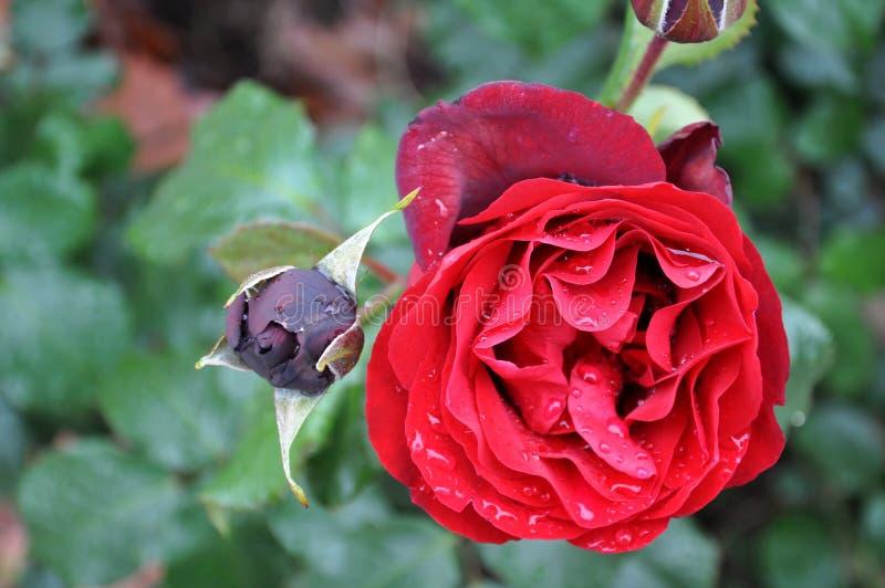 Rosa e botão no campo verde foto de stock royalty free
