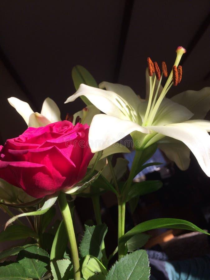 Rosa e branco do vermelho lilly imagem de stock