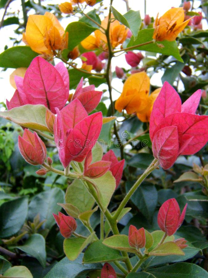 Rosa e buganvillea gialla fotografie stock libere da diritti