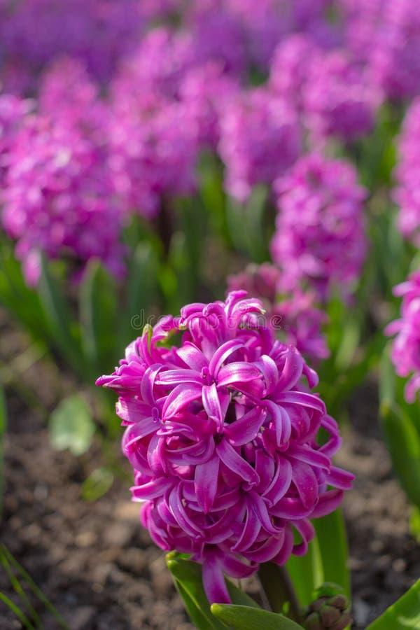 Rosa e bulbos de floresc?ncia roxos do jacinto no jardim fotos de stock royalty free