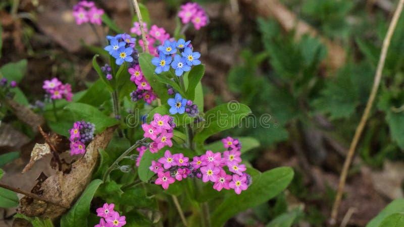 Rosa e fiori blu di myosotis fotografie stock