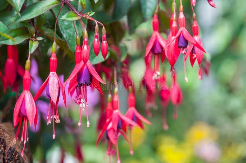 Rosa e fundo fúcsia roxo das flores imagens de stock royalty free
