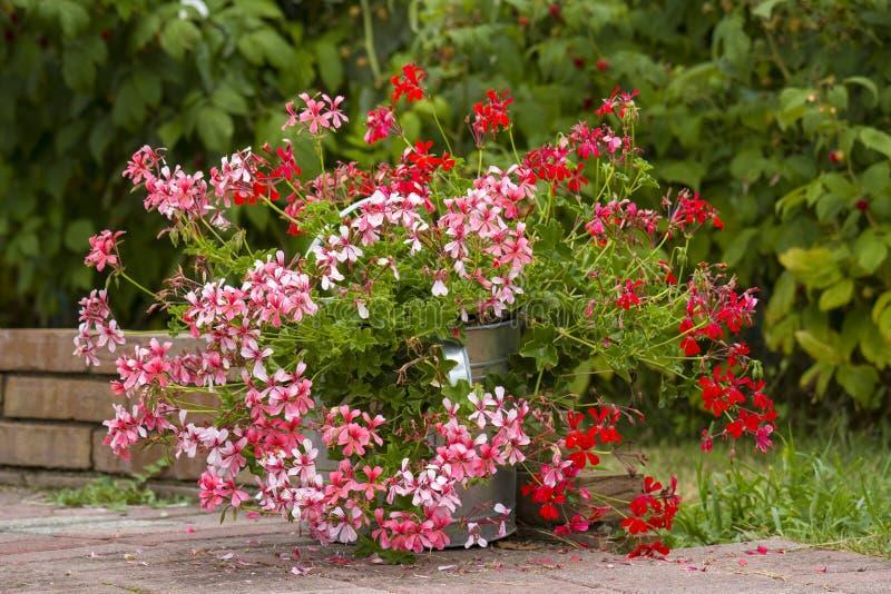 Rosa e gerânio vermelho no jardim fotografia de stock
