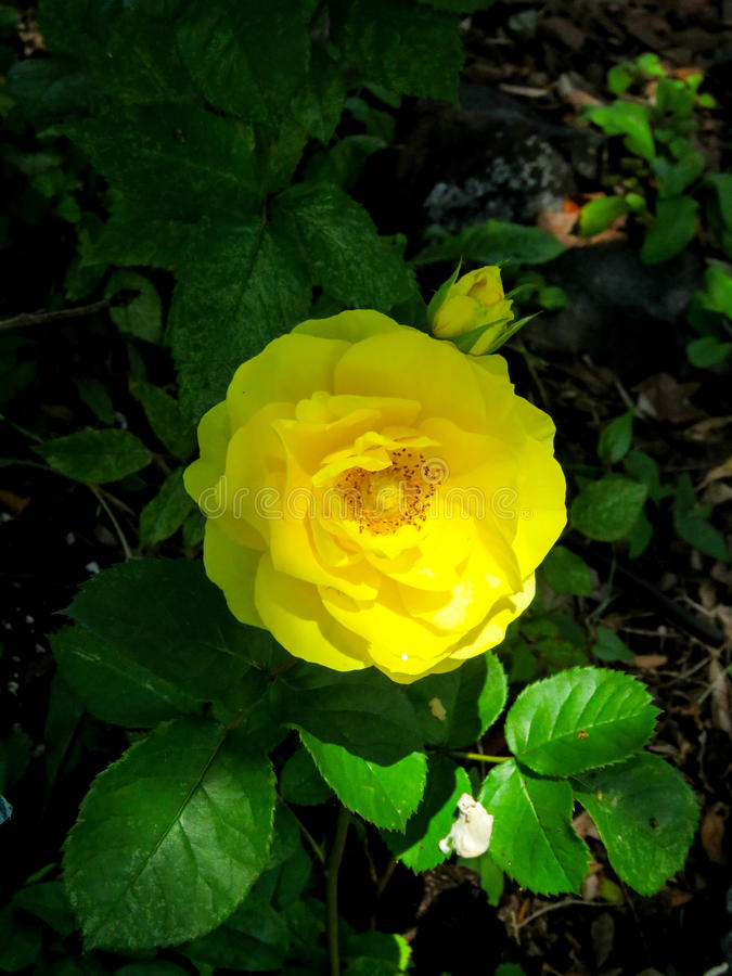 Rosa e germoglio di giallo fotografia stock