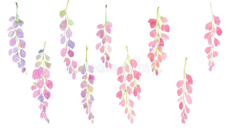 Rosa e grupo da glicínia, ramos e flores roxos, ilustração da aquarela ilustração do vetor