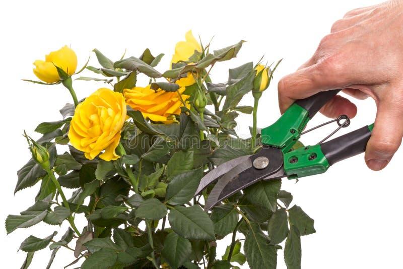 Rosa e mano di giallo con il secateur immagine stock