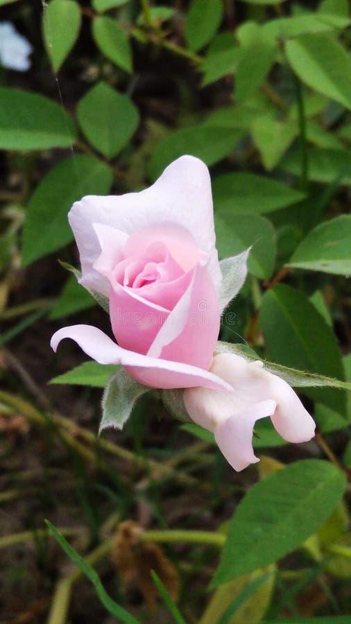 Rosa e planta do rosa de jardim foto de stock