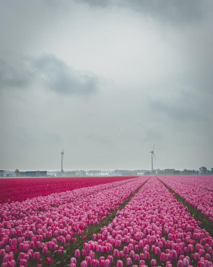 Rosa e tulipas vermelhas no campo Moinhos de vento no fundo Céu nebuloso fotos de stock