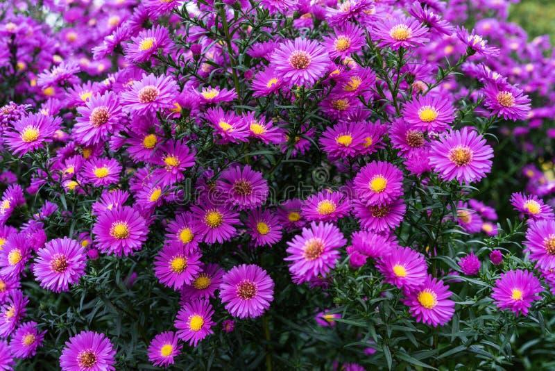 Rosa e viola di heliantheae di asteraceae nella conclusione di autunno di estate fotografia stock