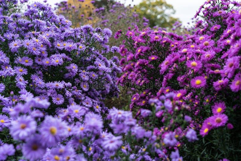 Rosa e viola di heliantheae di asteraceae nella conclusione di autunno di estate fotografia stock libera da diritti