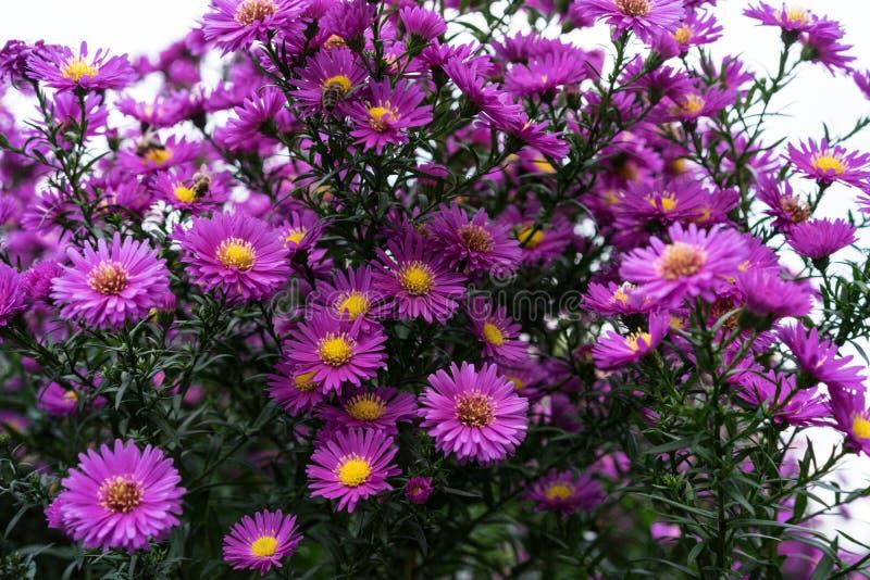 Rosa e viola di heliantheae di asteraceae nella conclusione di autunno di estate fotografie stock libere da diritti