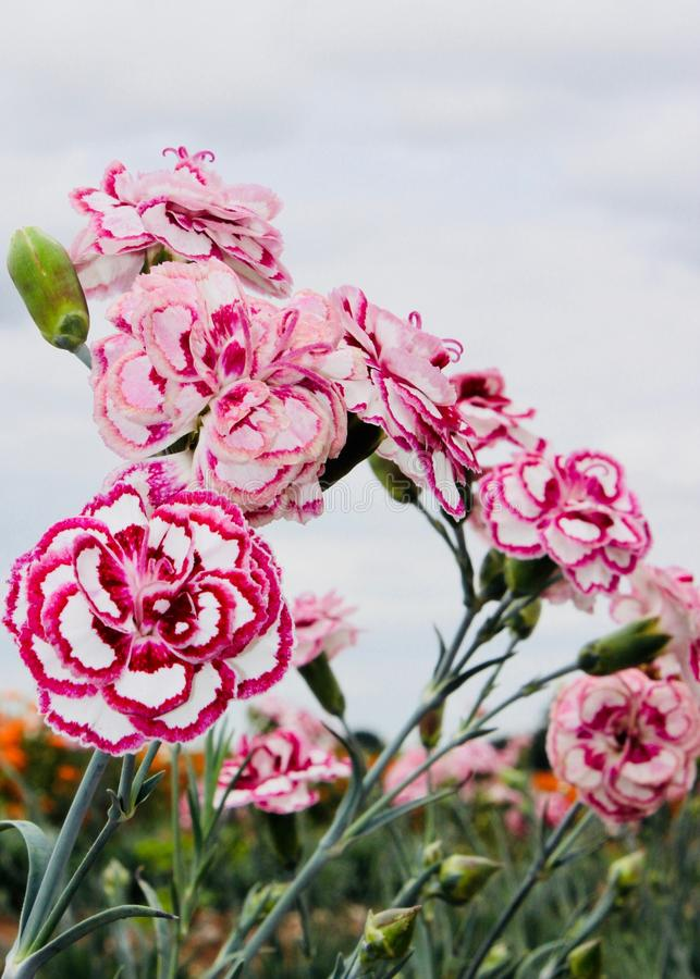 Rosa e Whit Carnations imagens de stock