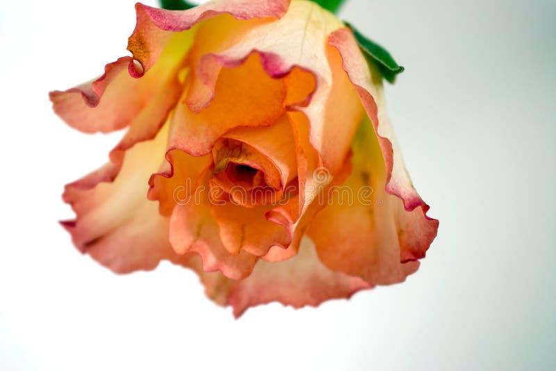 Rosa rosa ed arancio capovolta immagine stock