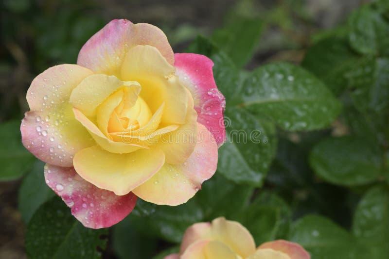 Rosa em mudança da cor com gotas do orvalho imagem de stock