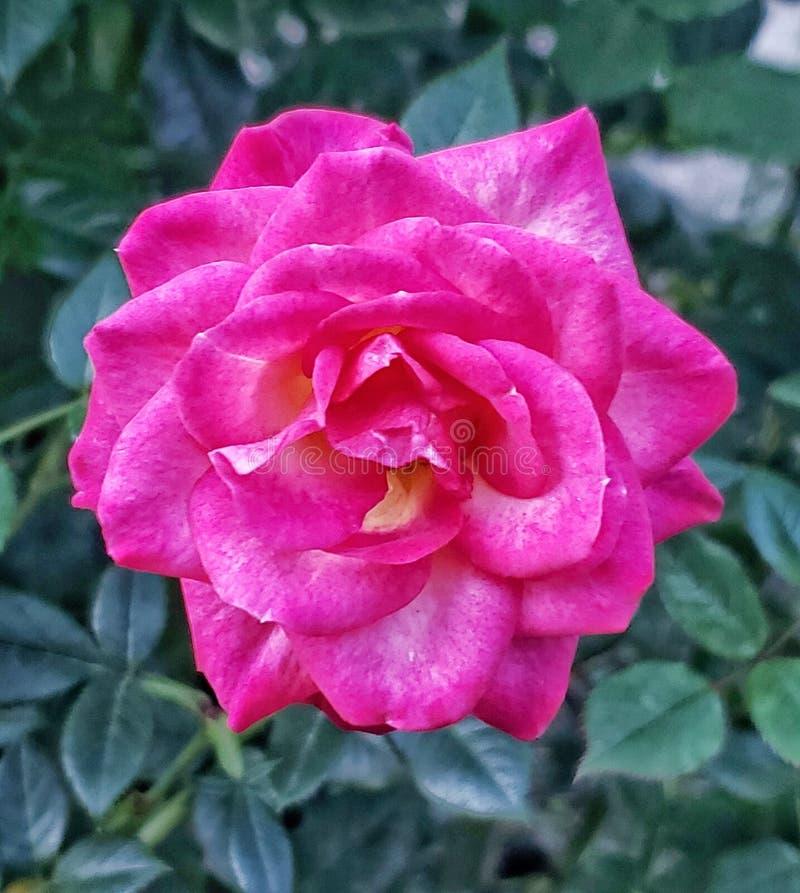 Rosa rosa-rosa em portland fotografia de stock royalty free