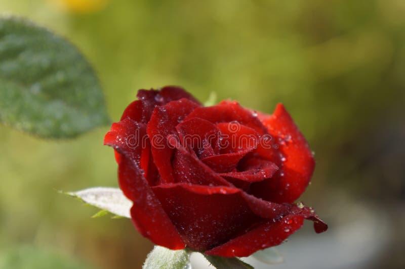 Rosa em Sun em meu jardim imagem de stock