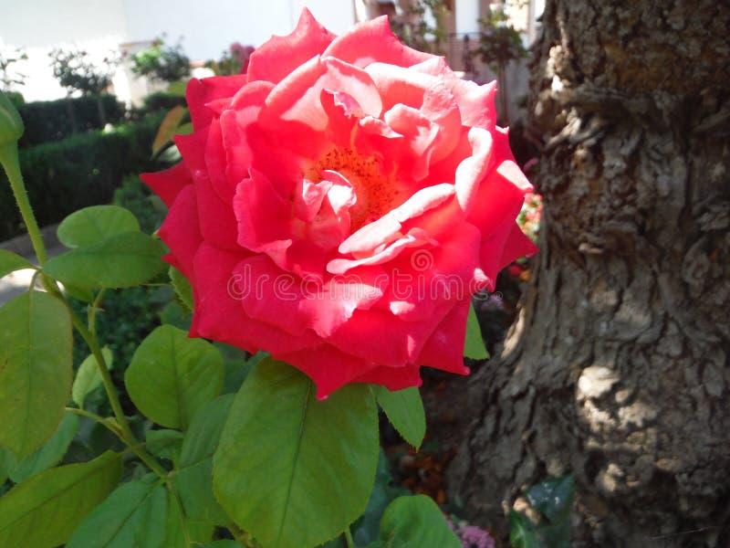 Rosa royalty free stock photo