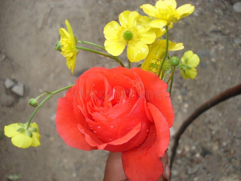 A rosa encantador do vermelho fotografia de stock royalty free