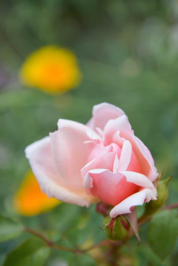 Rosa engelska steg att växa för blommor i trädgården, sommartid royaltyfri bild