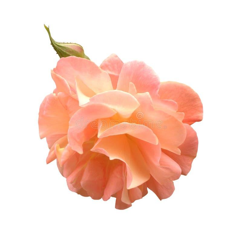 Rosa enorme y brote del rosa aislados en el fondo blanco imagen de archivo