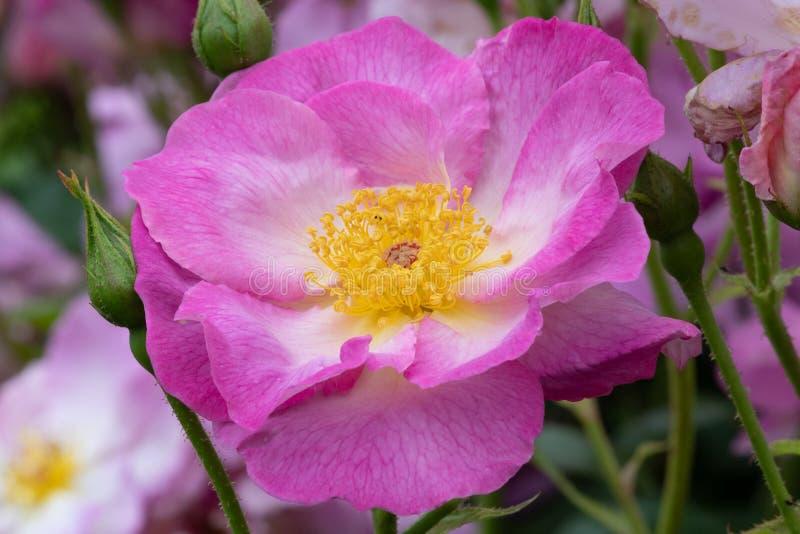 Rosa escapade imagens de stock royalty free