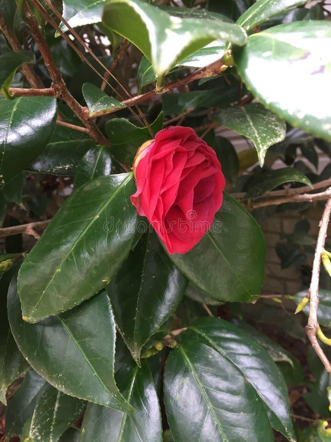 Rosa escuro Camellia Japonica imagem de stock