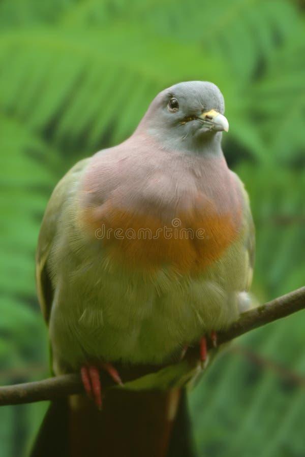 Rosa färg-hånglad grön duva royaltyfri fotografi