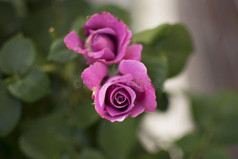 Rosa färg-/lilaros som vecklar ut på suddig bakgrund arkivbilder