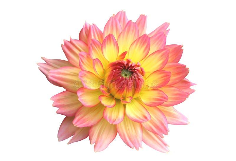 Rosa färg- och gulingdahlia som isoleras på vit royaltyfri bild
