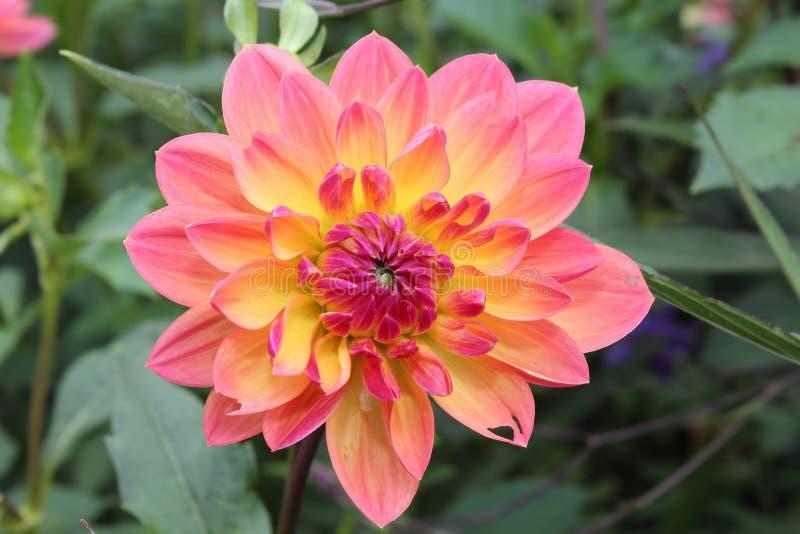 Rosa färg- och gulingkrysantemum royaltyfria bilder