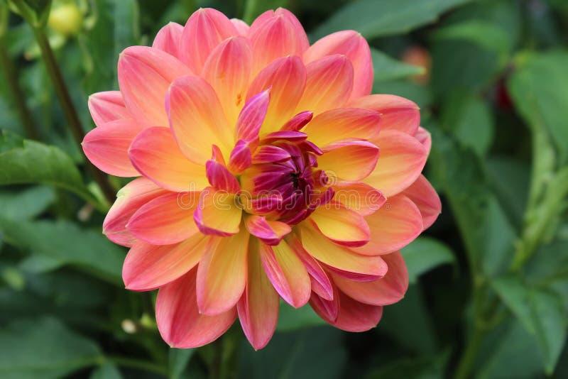 Rosa färg- och gulingkrysantemum royaltyfri foto