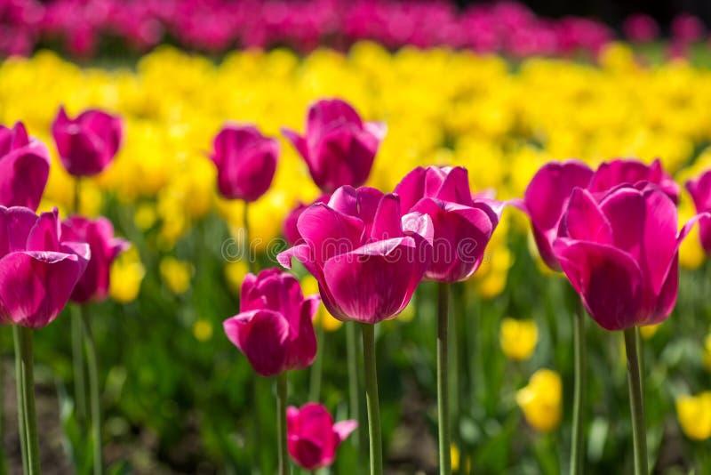 Rosa färg- och gulingtulpanfält arkivbilder