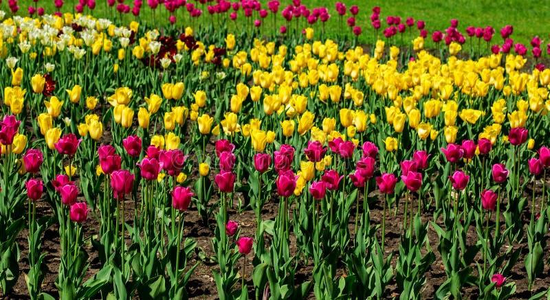 Rosa färg- och gulingtulpanfält royaltyfri bild