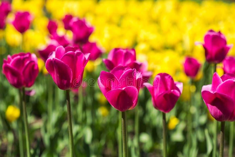 Rosa färg- och gulingtulpanfält royaltyfri foto