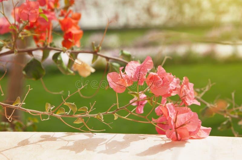 Rosa färg- och korallbougainvilleablommor på oskarp bakgrund för grönt gräs Lopp- och semesterbegrepp royaltyfri bild