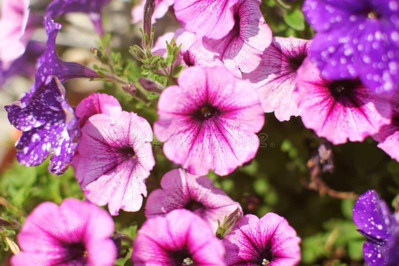 Rosa färg- och violetblommor som blommar i vår Grunt djup av fie royaltyfri bild