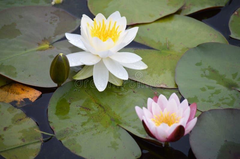 Rosa färg- och vitlilja royaltyfri foto