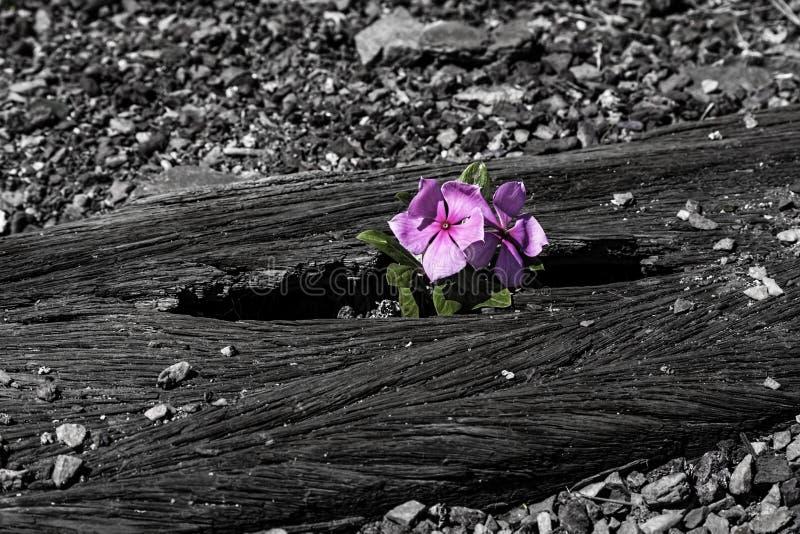 Rosa färgblommaöverlevande arkivbilder