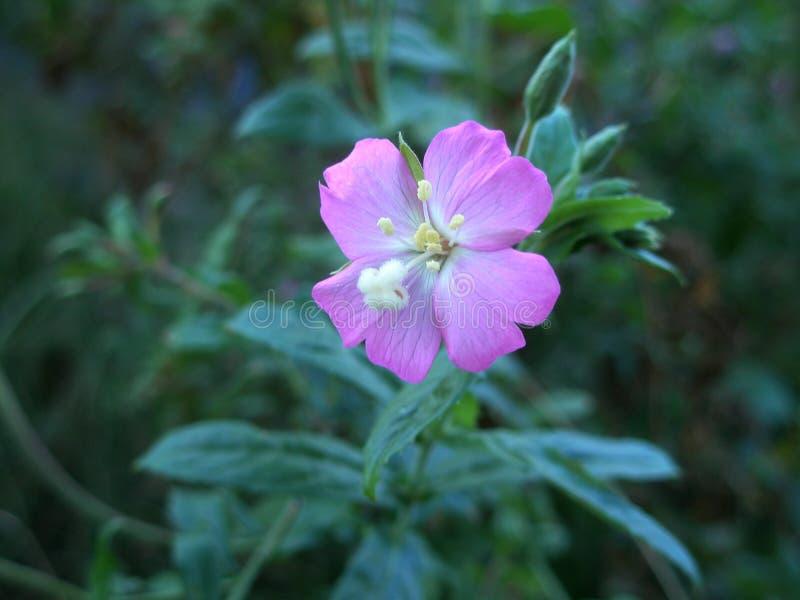 Rosa färgblomma fotografering för bildbyråer