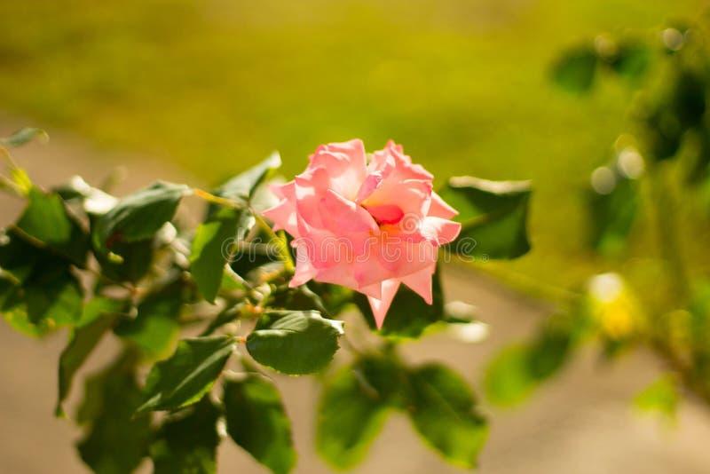 Rosa färgblomma i Montenegro arkivfoto
