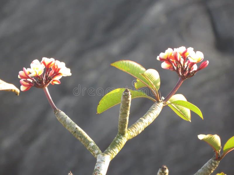 rosa färgblomma i tre royaltyfria bilder
