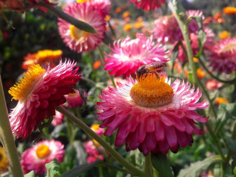 Rosa färgblomma med honungbiet royaltyfria bilder