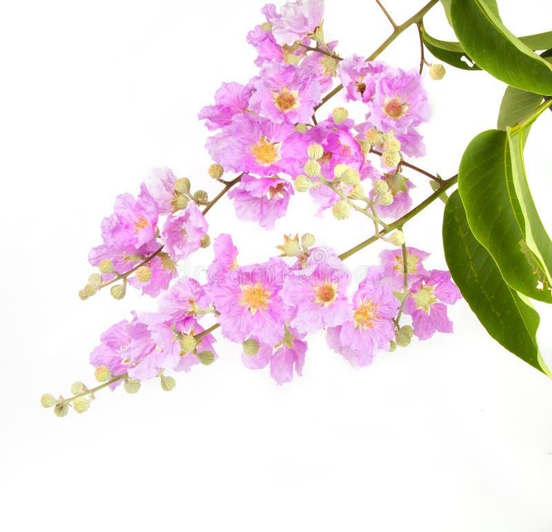 Rosa färgblomma med sidor på det isolerade trädet royaltyfri fotografi