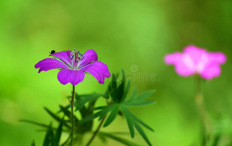 Rosa färgblomma och krypskalbagge fotografering för bildbyråer