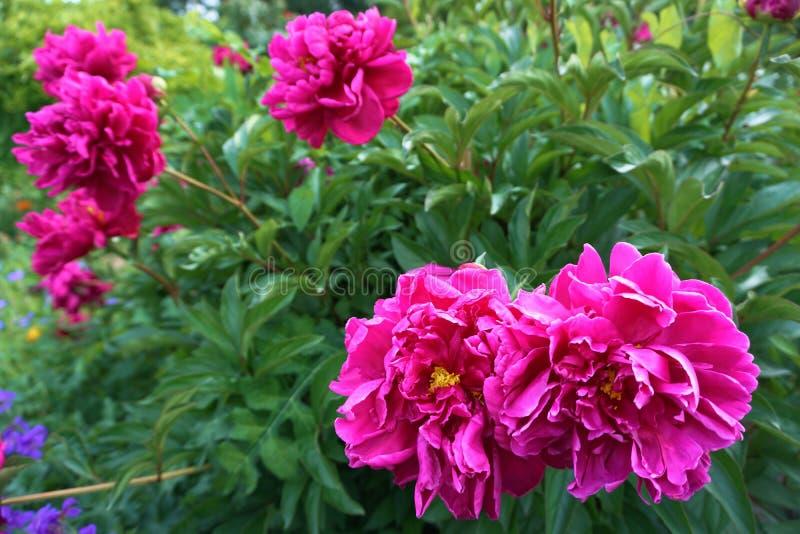 Rosa färgblomma på grön bakgrund royaltyfria foton