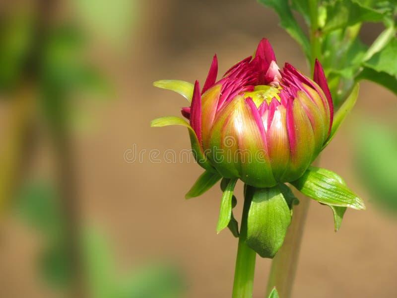 Rosa färgblommaknopp, dahliaväxt arkivbilder