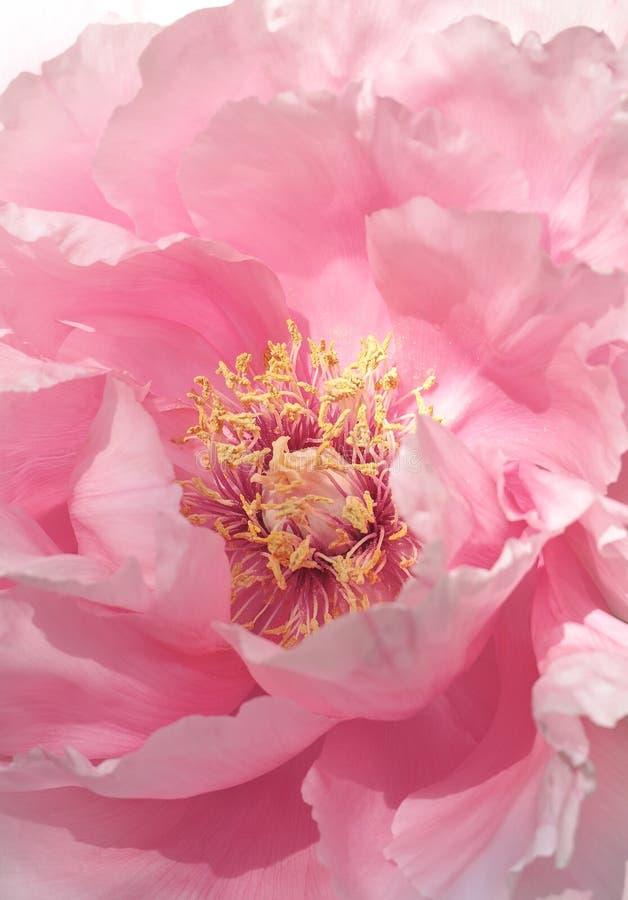 Rosa färgblommakronblad, pionbakgrund royaltyfri foto